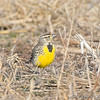 Eastern Meadowlark <br /> Maryland Heights Bottoms