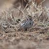 Savannah Sparrow <br /> Riverlands Migratory Bird Sanctuary
