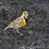 Eastern Meadowlark <br /> Riverlands Migratory Bird Sanctuary