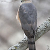 Coopers Hawk <br /> Bridgeton, MO <br /> 2008-03-07