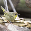 Common Yellowthroat (Female) <br /> Tower Grove Park