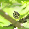 Louisiana Waterthrush <br /> Cuba Mo. Hwy U Meramec river access