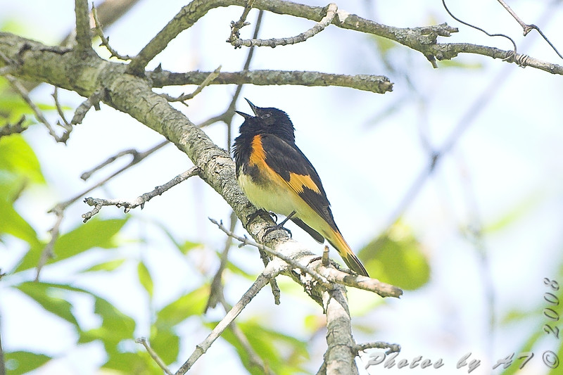 American Redstart <br /> Cuba Mo. Hwy U Meramec river access