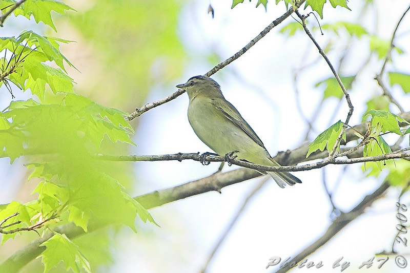 Red-eyed Vireo <br /> Cuba Mo. Hwy U Meramec river access