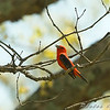Scarlet Tanager <br /> Blue Ridge Parkway Virginia