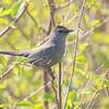 Gray Catbird <br /> Blue Ridge Parkway Virginia