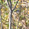 Chestnut-sided Warbler <br /> Blue Ridge Parkway Virginia