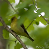 Scarlet Tanager (Female) <br /> From the balcony <br /> California Maryland