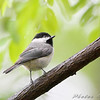 Carolina Chickadee <br /> From the balcony <br /> California Maryland