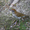 Wood Thrush <br /> From the balcony <br /> California Maryland