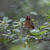 Northern Cardinal <br /> From the balcony <br /> California Maryland