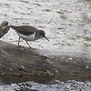 Spotted Sandpiper <br /> Myrtle Point Park <br /> Maryland