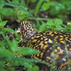 Eastern Box Turtle <br /> Myrtle Point Park <br /> Maryland