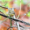 Common Yellowthroat (Female) <br /> Myrtle Point Park <br /> Maryland