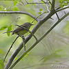 White-eyed Vireo <br /> Myrtle Point Park <br /> Maryland