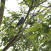 Blue Grosbeak <br /> Myrtle Point Park <br /> Maryland