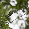 Red-eyed Vireo <br /> Myrtle Point Park <br /> Maryland