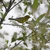 Prairie Warbler <br /> Myrtle Point Park <br /> Maryland