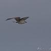 Osprey <br /> Myrtle Point Park <br /> Maryland