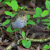 Wood Thrush <br /> Maryland