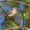 Carolina Wren <br /> Point Lookout Maryland
