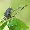 Yellow-rumped Warbler <br /> Maryland