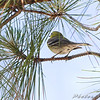 Pine Warbler <br /> Point Lookout Maryland