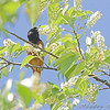 Baltimore Oriole <br /> Point Lookout Maryland