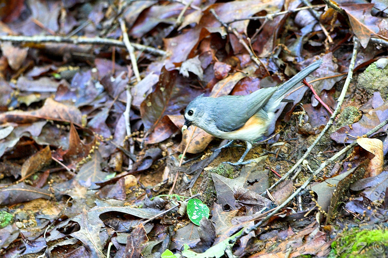 Tufted Titmouse <br /> Maryland