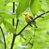 Prothonotary Warbler <br /> Battle Creek Cypress Swamp <br /> Maryland