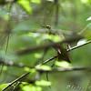 Kentucky Warbler <br /> Battle Creek Cypress Swamp <br /> Maryland