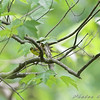 Kentucky Warblers <br /> Battle Creek Cypress Swamp <br /> Maryland