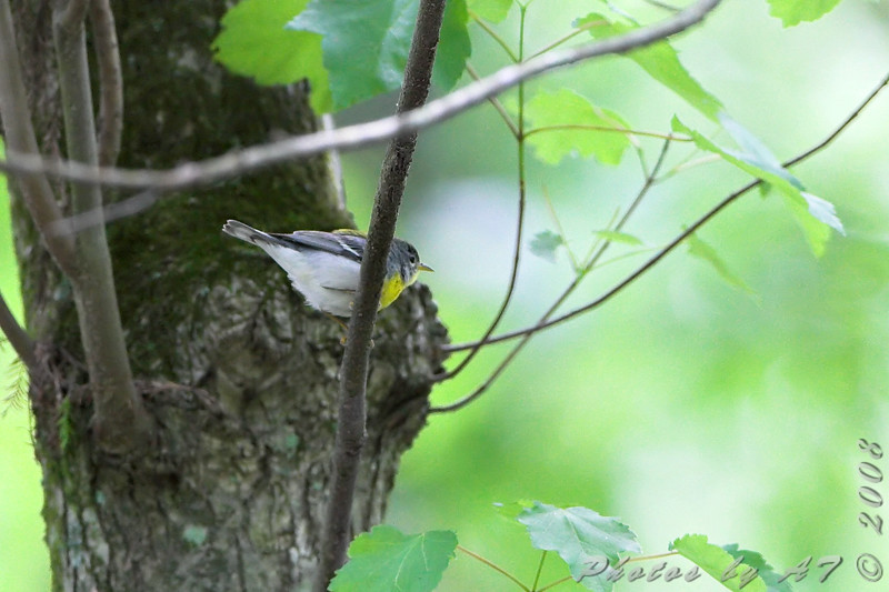 Northern Parula <br /> Battle Creek Cypress Swamp <br /> Maryland