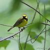 Hooded Warbler <br /> Battle Creek Cypress Swamp <br /> Maryland