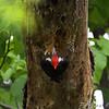 Pileated Woodpecker  <br /> New York