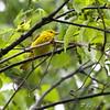 Yellow Warbler <br /> New York