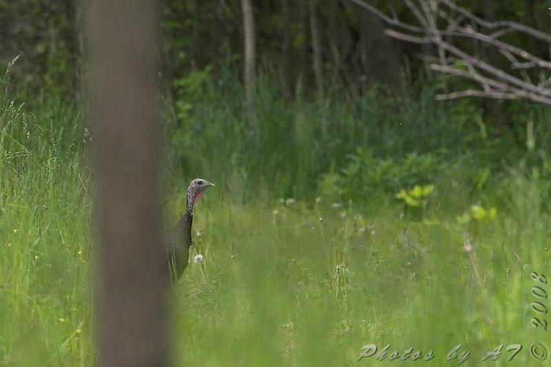 Eastern Wild Turkey <br /> New York