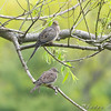 Mourning Doves <br /> Auburn, New Hampshire
