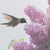 Ruby-throated Hummingbird <br /> Auburn, New Hampshire
