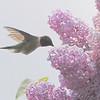 Ruby-throated Hummingbird <br /> Auburn, New Hampshire