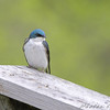 Tree Swallow <br /> Auburn, New Hampshire