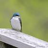 Tree Swallow <br /> Auburn, New Hampshire