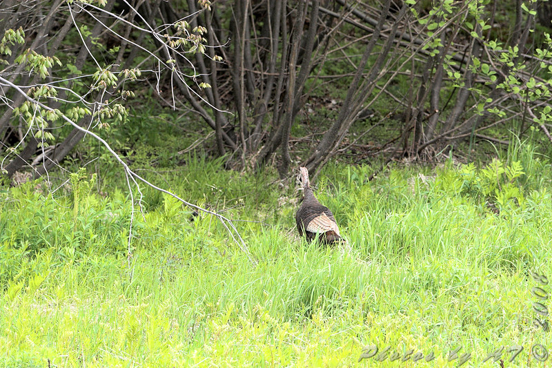 Eastern Wild Turkey <br /> Auburn, New Hampshire