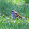 White-throated Sparrow <br /> Auburn, New Hampshire