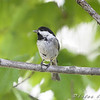 Black-capped Chickadee <br /> Auburn, New Hampshire