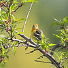 Baltimore Oriole <br /> Auburn, New Hampshire