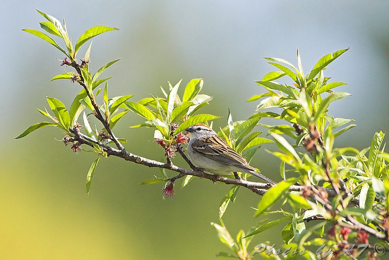 Chipping Sparrow  <br /> Auburn, New Hampshire