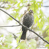 Female Red-winged Blackbird <br /> Auburn, New Hampshire