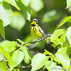 Magnolia Warbler <br /> Auburn, New Hampshire