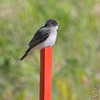 Eastern Kingbird <br /> Auburn, New Hampshire